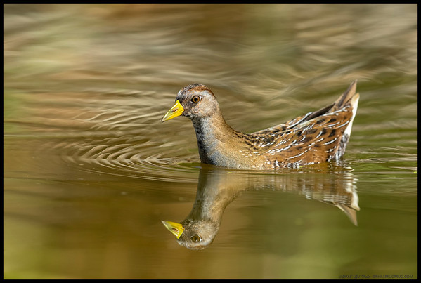 One of the Sora making its way across the water.