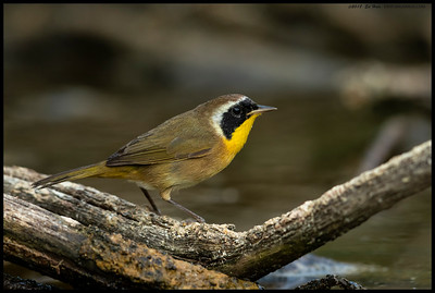 If you stay still long enough, even the Common Yellowthroats will hop out right in front of you.