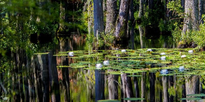 Cypress Lillies