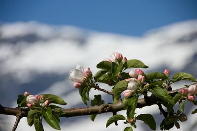 Fruktblomstring i Hardanger (© Ragnar Våga Pedersen)