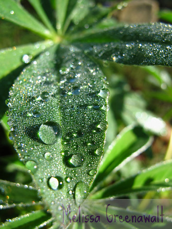 Lupine leaves with morning dew in the sunshine; who said flowers have a monopoly on showiness?