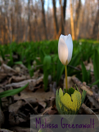 Bloodroot politely waits for more sun, tomorrow.  Plymouth, NH.