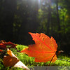 """Stained glass leaf in a woodsy cathedral on a carpet of moss; when autumn rolls around, I need a sticker for my back: """"Makes Sudden Stops.""""  Valley Way Trail, Randolph, NH."""