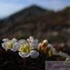 Photographic trick du jour: make the tiny things look huge.  I really enjoy the shift in perspective this gives.  These little diapensia flowers are only about the size of a nickel (Mount Lincoln in the background is significantly larger...), and they're one of the first alpine flowers to bloom.  I actually did a little botany geek dance when I got to the ridge.