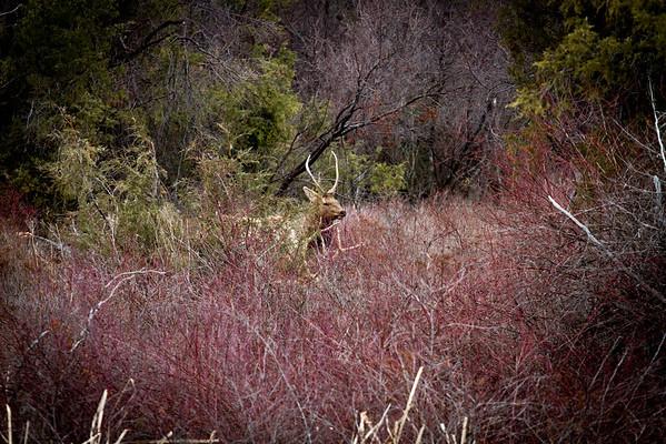 Todays Elk March 23rd
