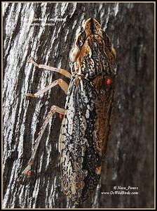 Black Flat-head Leafhopper (Stenocotis depressa)