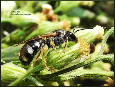 Native Bee (Lasioglossum lanarium)