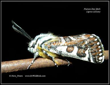 Pasture Day Moth