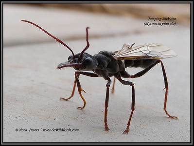 Jumping Jack Ant