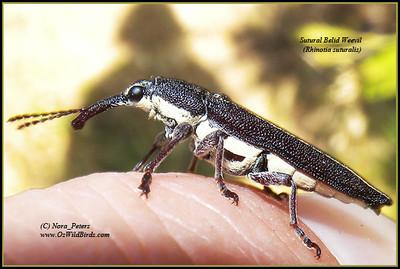Sutural Belid Weevil  (Rhinotia-suturalis)