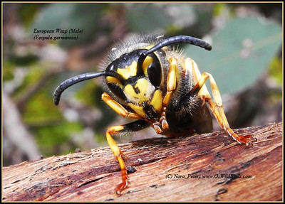 European Wasp Male (Vespula germanica)   just out of hibernation