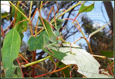 Gumleaf Katydid Torbia viridissima
