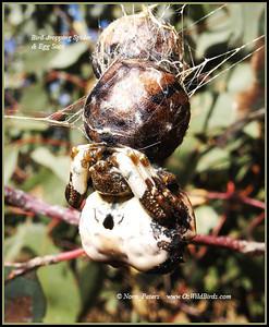 Bird-dropping Spider & Egg Sacs Bird