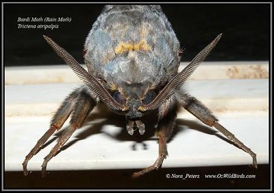 Bardi_Moth (Rain Moth) Trictena Atripalpis Photo Nora Peters