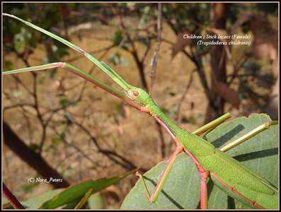 Children's Stick Insect (female) Tropidoderus childrenii