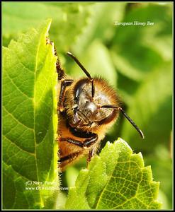 European Honey Bee Honey Bee was playing hide-n-seek behind a small leaf