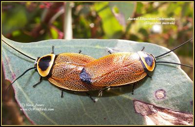 Austral Ellipsidion Cockroaches (Ellipsidion australe)