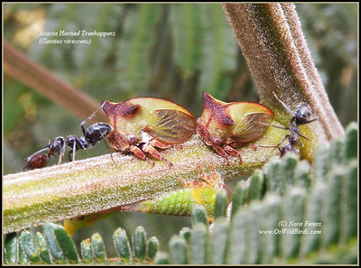 Acacia Horned Treehopper (Sextius virescens)
