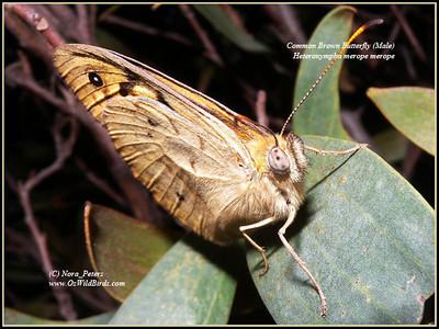 Common Brown Butterfly (Male) (Heteronympha merope merope)