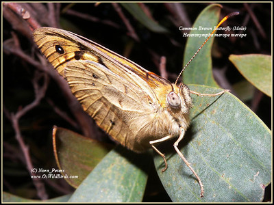 Common Brown Butterfly (Male) (Heteronympha merope merope)