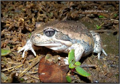 Pobblebonk (Banjo) Frog