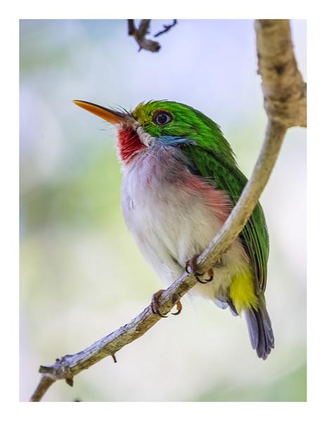Cartacuba - Todus multicolor_DSC4273