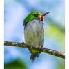 Cartacuba - Todus multicolor_DSC4208