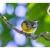 Bijirita chica - Parula americana_DSC4052_1
