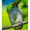 Cartacuba - Todus multicolor_DSC4177