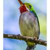 Cartacuba - Todus multicolor_DSC4205
