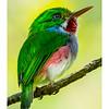 Cartacuba - Todus multicolor_DSC4228