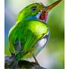 Cartacuba - Todus multicolor_DSC4193