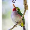Cartacuba - Todus multicolor_DSC4271