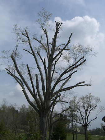 Topped trees - a history