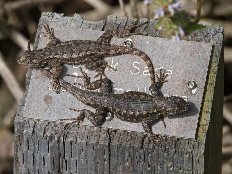 Lizards sunning themselves in the moring on a nature trail in an estuary just north of the park in Del Mar, CA. E-3 and 50-200 mm lens at 158 mm ISO 200, f/9, 1/160 sec