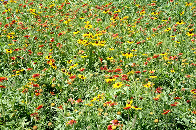 The wild flower meadow on the north side of Town Lake.
