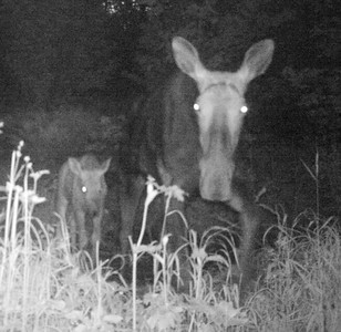 Mom Moose and baby (taken with Infrared)