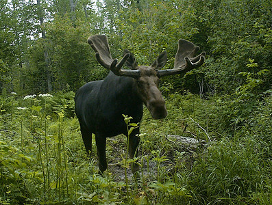 Bull Moose on Trail