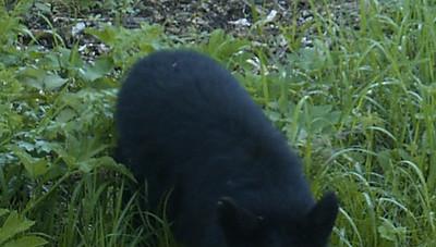 Bear on trail