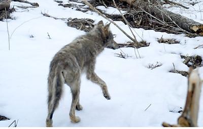 Wolf on Trail