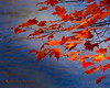 Fall Maple Leaves Over the Water
