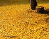 Fall Ginko Leaves