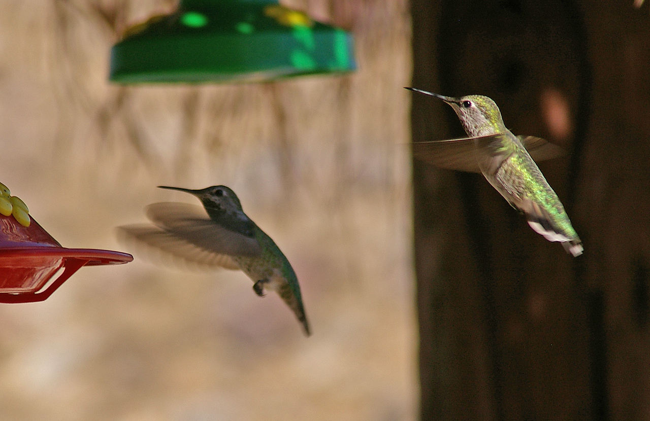 Hummingbirds at Andrais Canyon