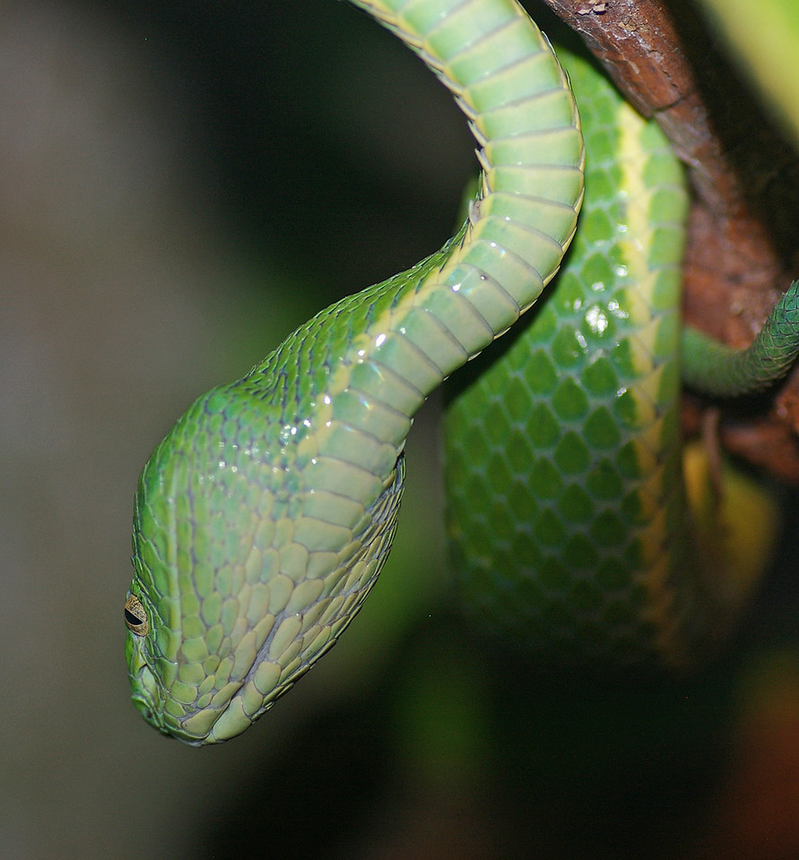 Green Parrot Snake, or Green Tree snake