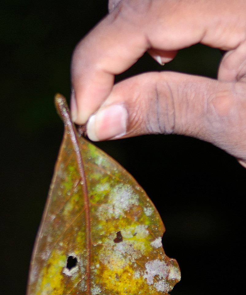 This guy is holding one of the ants which is holding the leaf in its pinchers.
