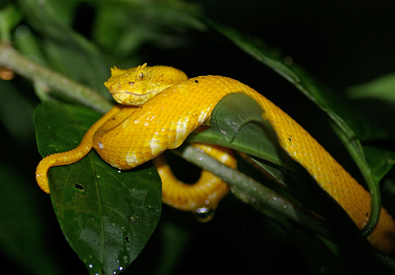 Eyelash viper on night hike at Arenal Oasis