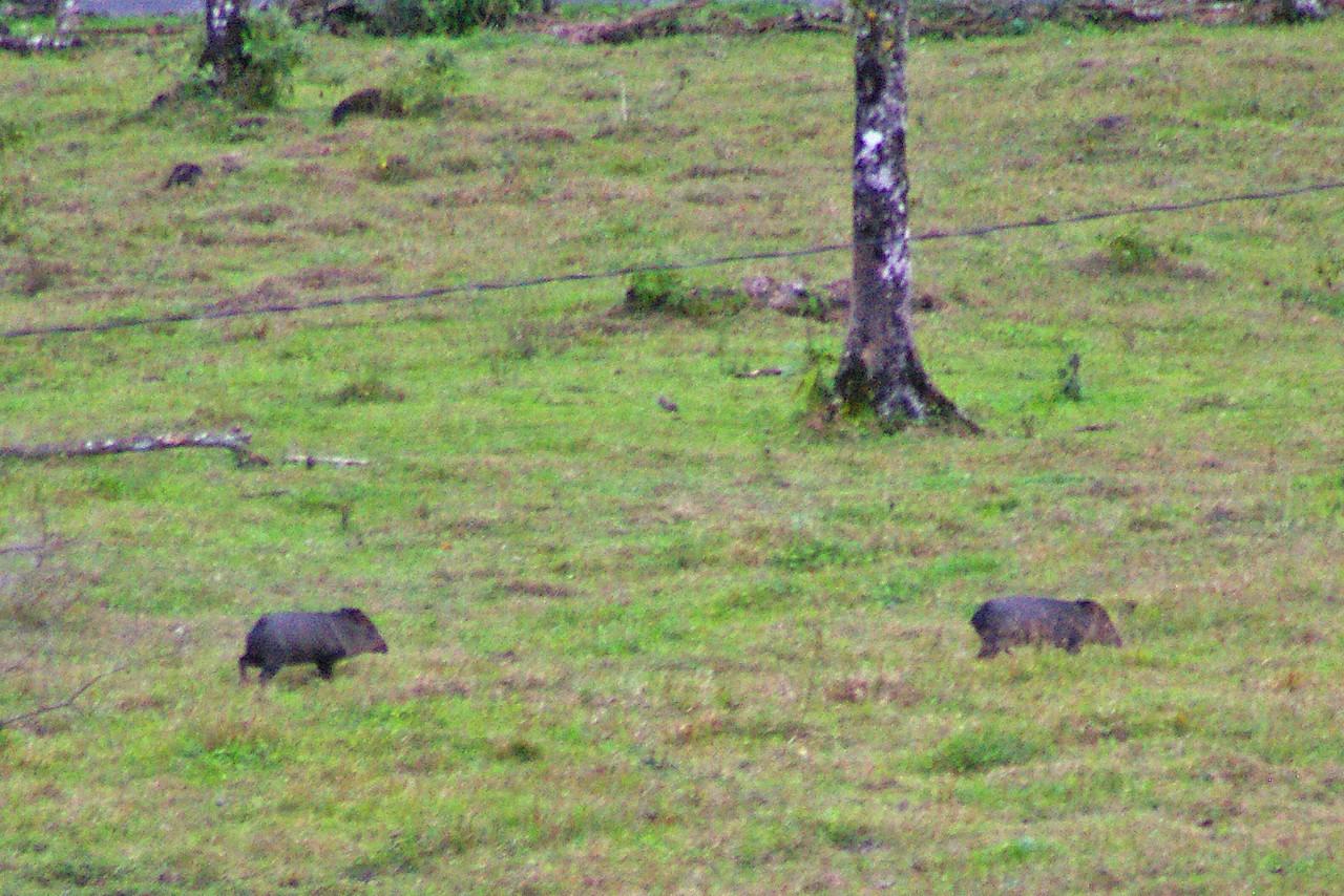 Wild boars.