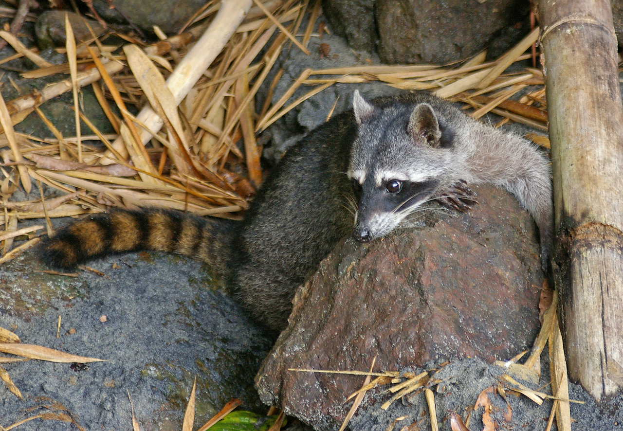 Raccoons hang around at the edge of the jungle along the beachs.  If you leave any food unattended they will probably get it.<br /> They are unafraid and shameless, hanging around like a dog at the dinner table.