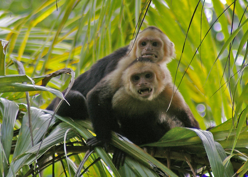 These white faced mondeys also hang around the edge of the jungle ready to grab anything that you leave lying around.