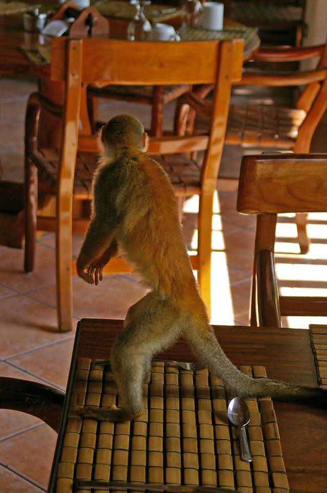 Spider Monkeys take over Anacondas,
